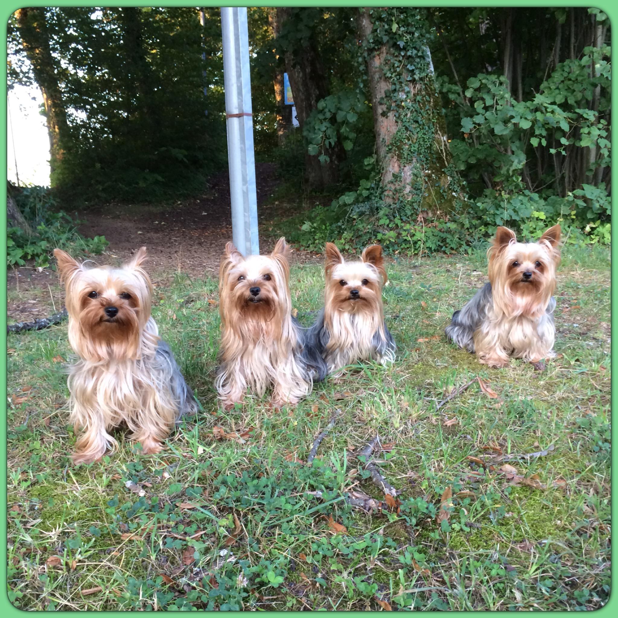 Quelles Sont Les Bonnes Questions A Se Poser Avant D Adopter Un Chien Elevage De Yorkshire Terrier Des Etoiles Du Chanet