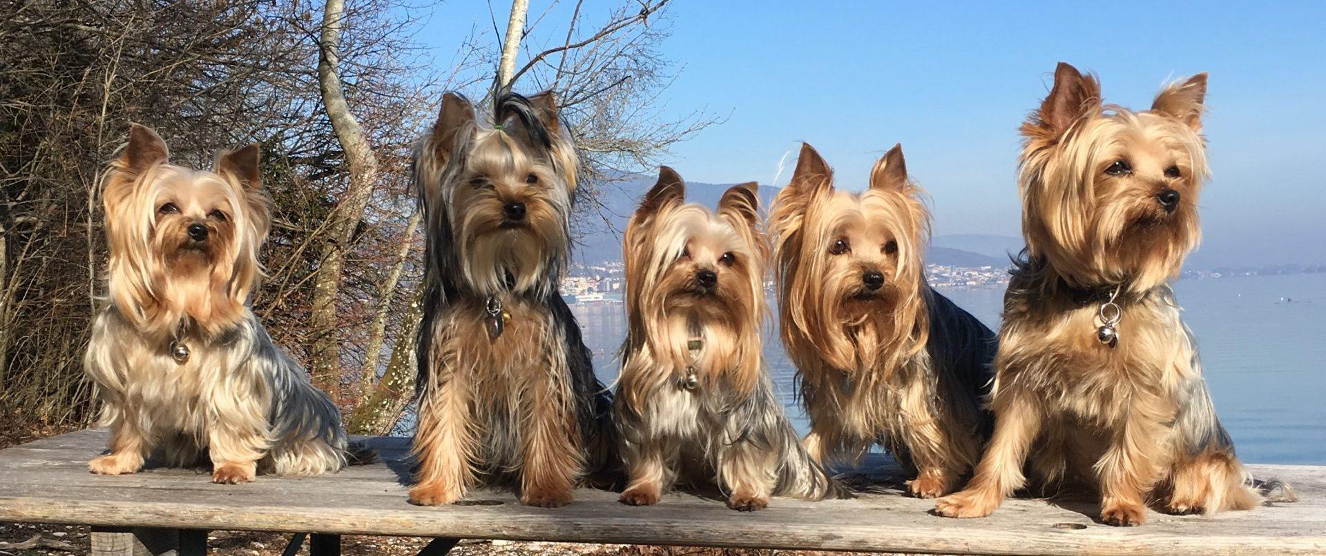 Elevage de Yorkshire Terrier Des étoiles du Chanet